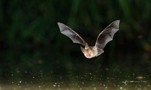 (Français) Nuit européenne de la chauve-souris